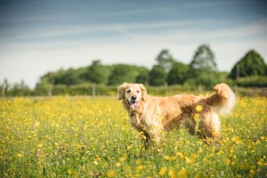 Golden retriver in a field of buttercups, Gloucestershire Photographer