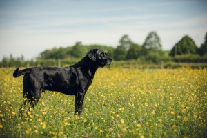 Black Labrador in a field of buttercups, Gloucestershire Photographer