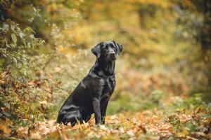 Gloucester photographer autumn session pet Labrador